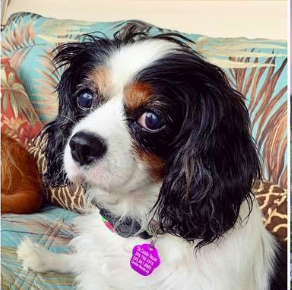 The Cavalier Rescue - Homepage