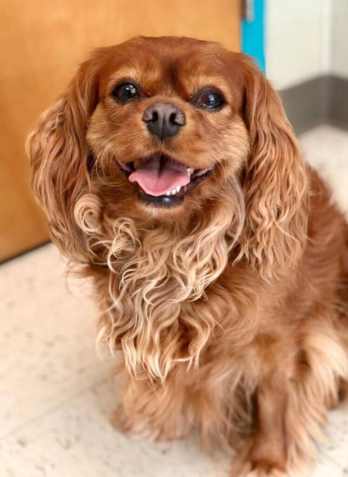 The Cavalier Rescue Homepage